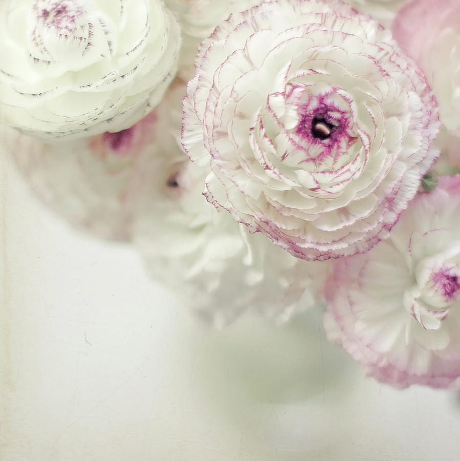 Square Photograph - White And Pink Ruffled Ranunculus Flowers by Cindy Prins
