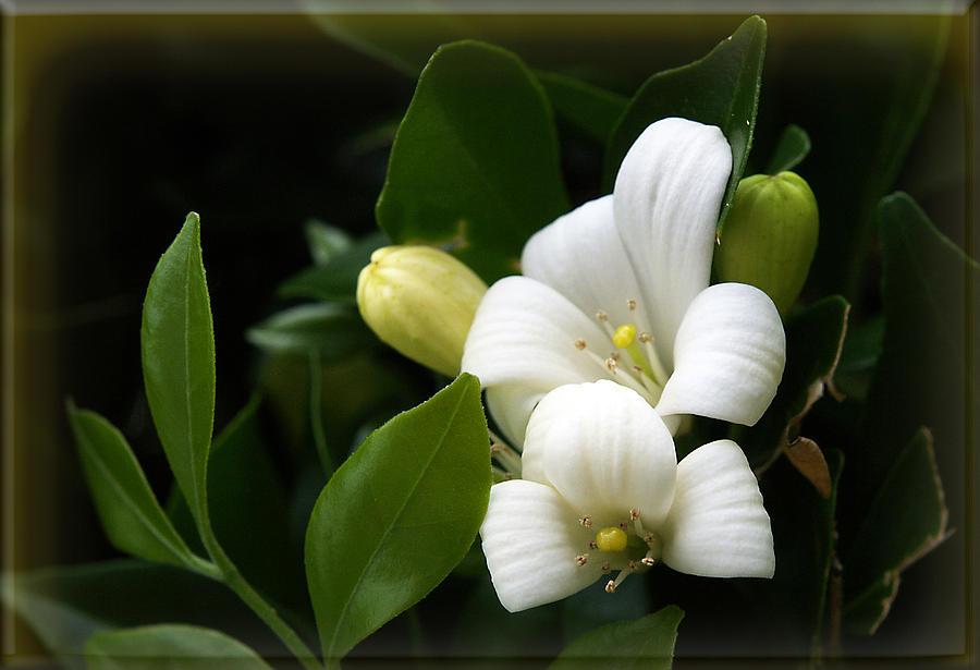 Flower Photograph - White Beauty by Elisabeth Dubois