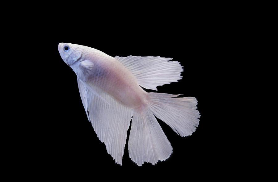 White betta fish photograph by photograph by anastasiya for Black and white betta fish