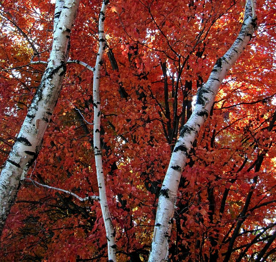 White Birch Red Leaves Photograph By Joseph Schmidt