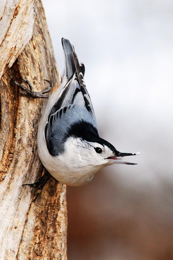 Nature Photograph - White-breasted Nuthatch 3 by Larry Ricker
