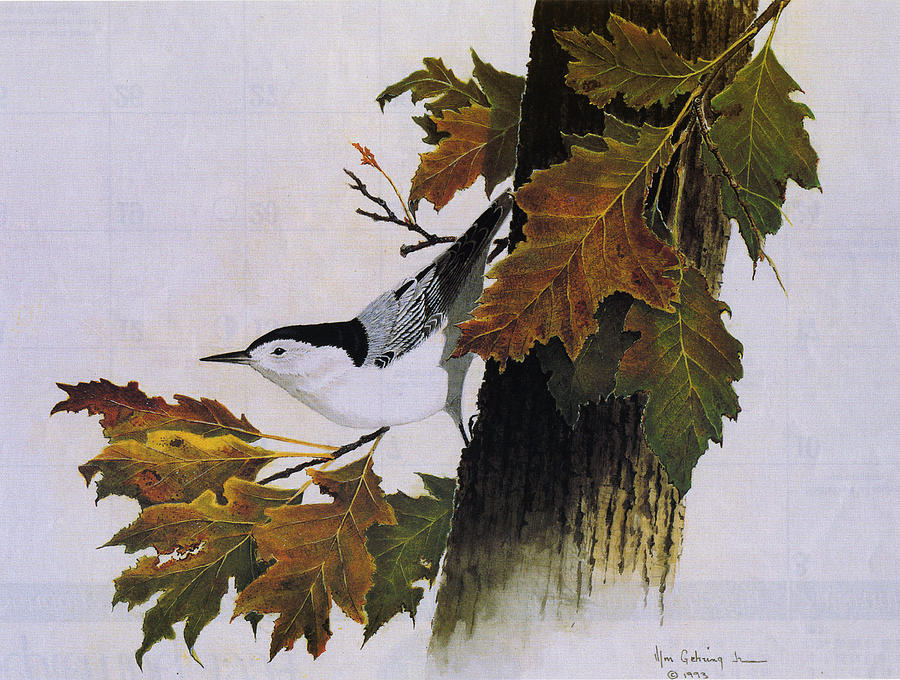 Bird Painting - White-breasted Nuthatch by Bill Gehring