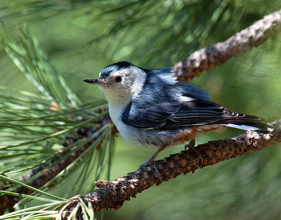 White Breasted Nuthatch Photograph by Jim Garrison