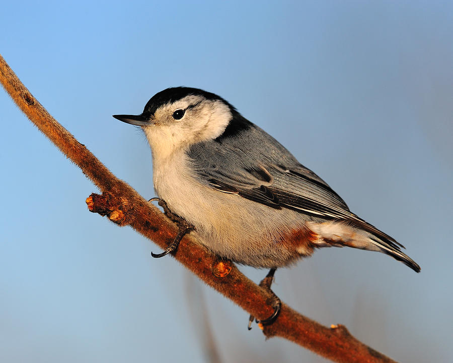 White-breasted Nuthatch Photograph - White-breasted Nuthatch by Tony Beck