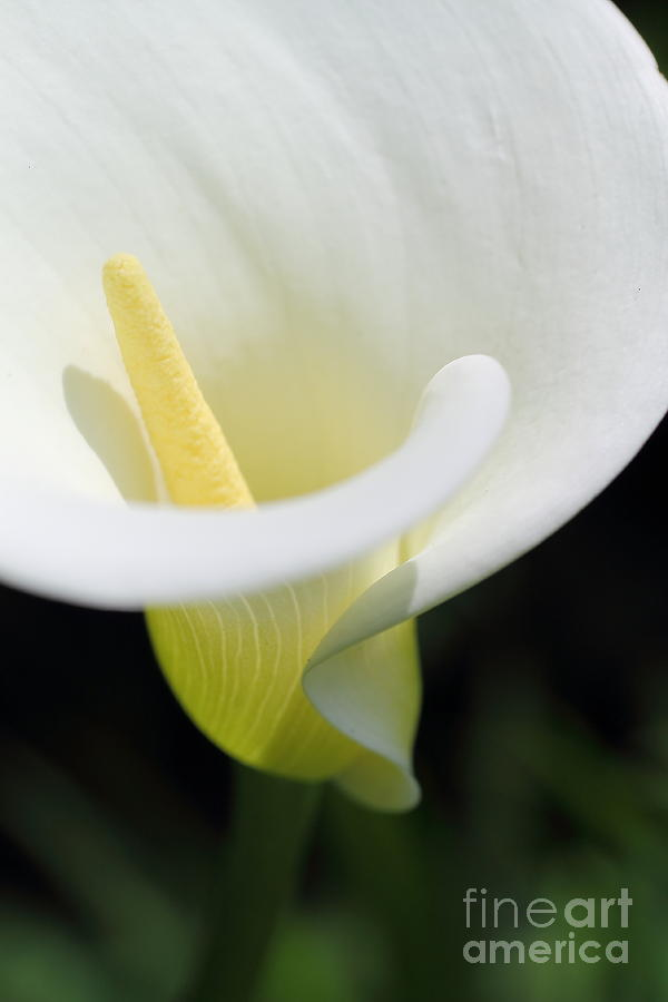 White Photograph - White Calla by Beth Buelow