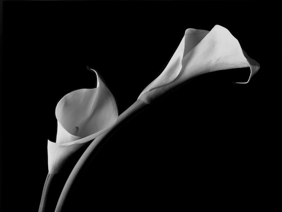 Calla Lilies Photograph - White Calla Lilies by John Wong