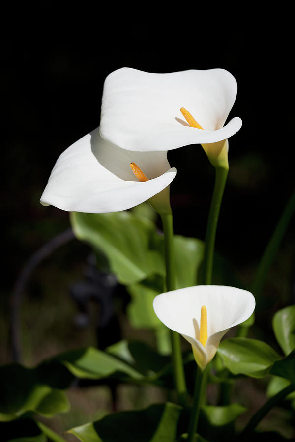 Vertical Photograph - White Calla Lilies by Tobias Titz
