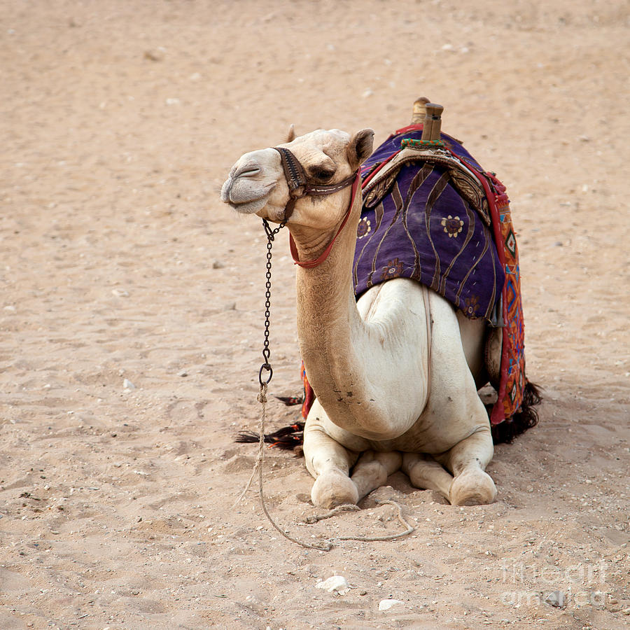 Africa Photograph - White Camel by Jane Rix
