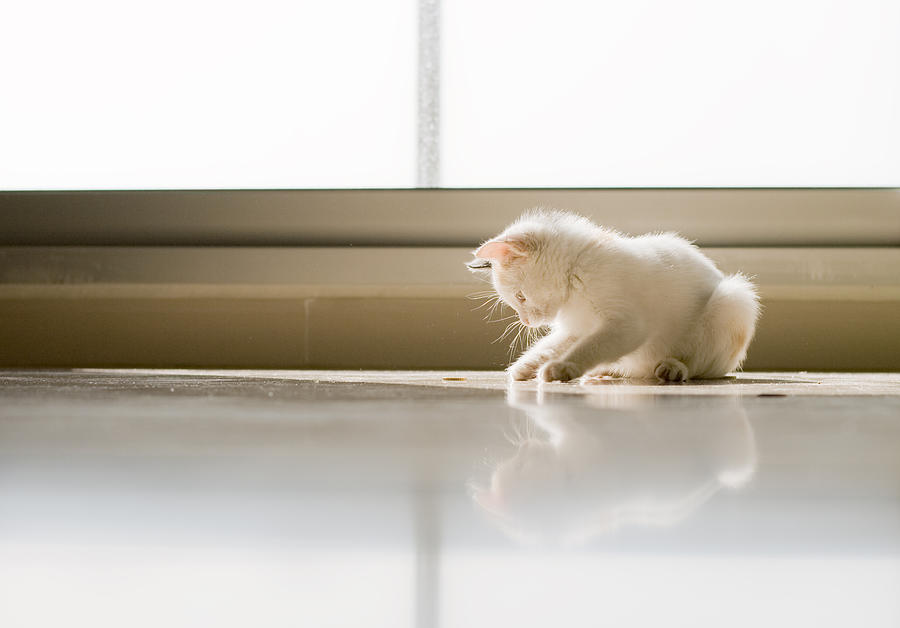 Horizontal Photograph - White Cat Playing On The Floor by Jose Torralba