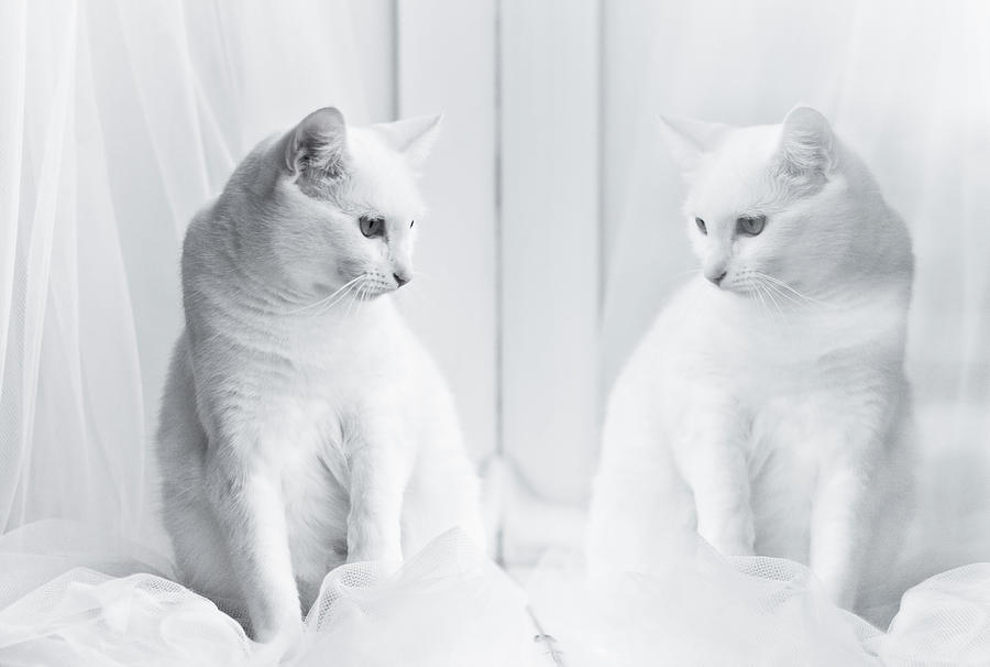 Horizontal Photograph - White Cat Reflected In Window by Vilhjalmur Ingi Vilhjalmsson