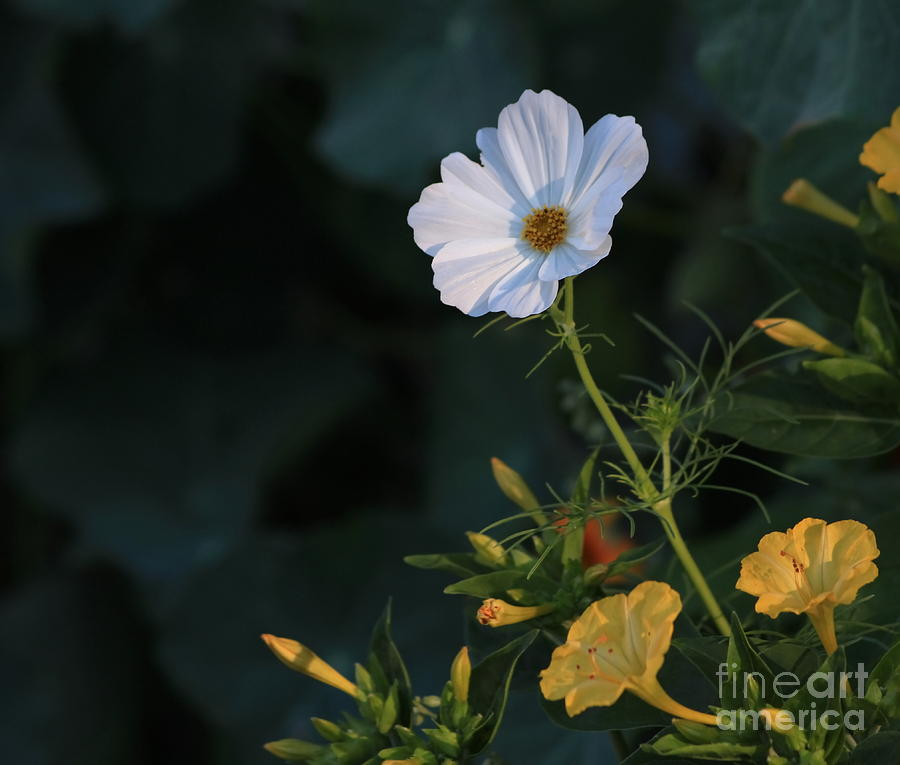 Flower Photograph - White Cosmos And Four Oclock Floral by Marjorie Imbeau