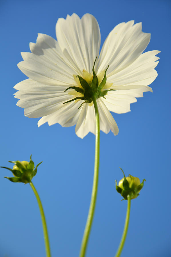 White Cosmos Flower Photograph By Dung Ma