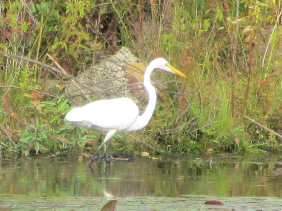 Wild Photograph - White Crane - Wildlife by Susan Carella