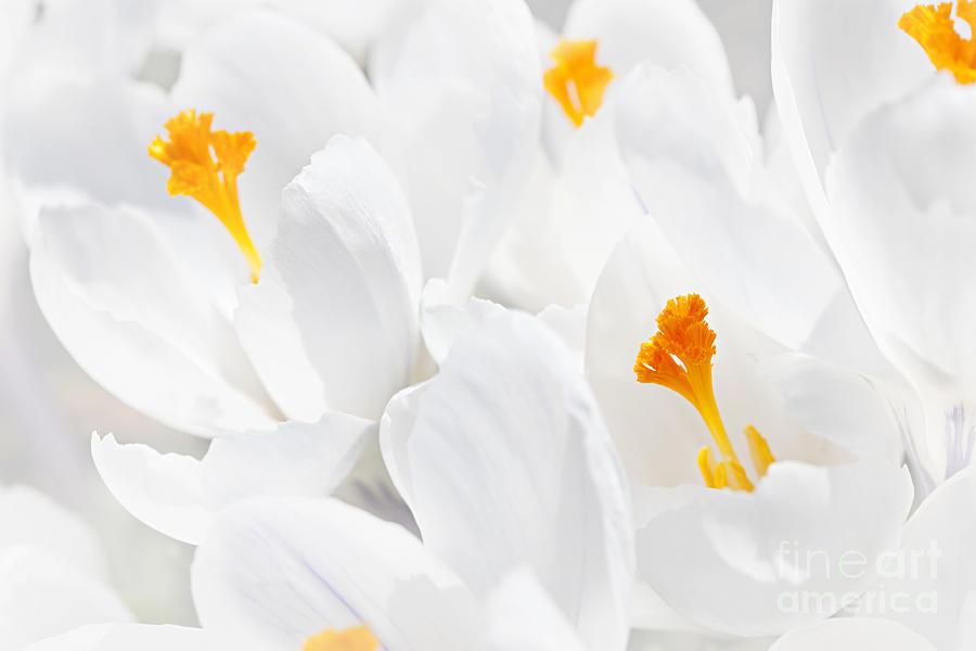Crocus Photograph - White Crocus Blossoms by Elena Elisseeva