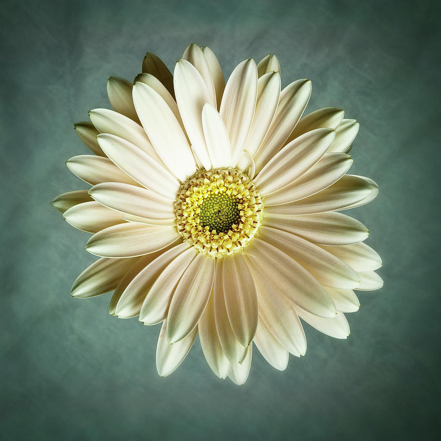 Flower Photograph - White Daisy by Tamyra Ayles