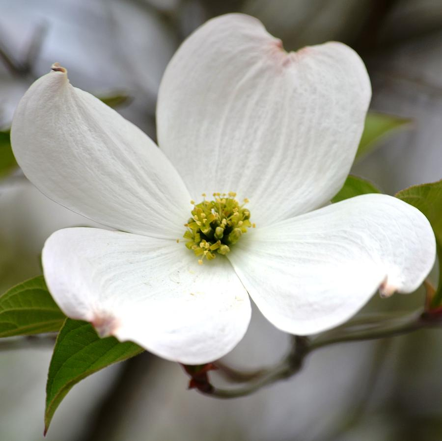 White dogwood flower photograph by p s flowers photograph white dogwood flower by p s mightylinksfo