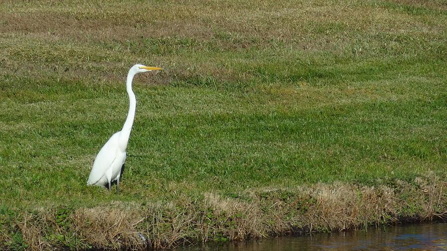 Crane Photograph - White Egret Crane by Jessica Cruz