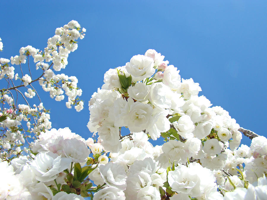 Colorful Photograph - White Floral Blossoms Art Prints Spring Tree Blue Sky by Baslee Troutman