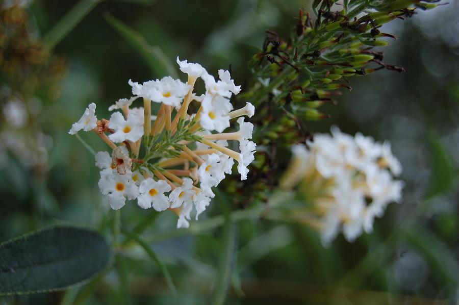 White Photograph - White Flower by Beverly Hammond