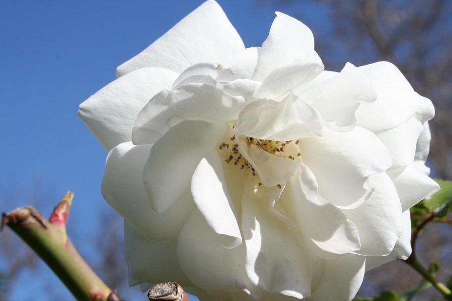 White Photograph - White Flower by Eduardo Bouzas