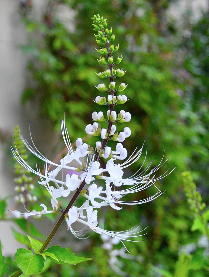 White Flower Photograph - White Flower by Lori Kesten
