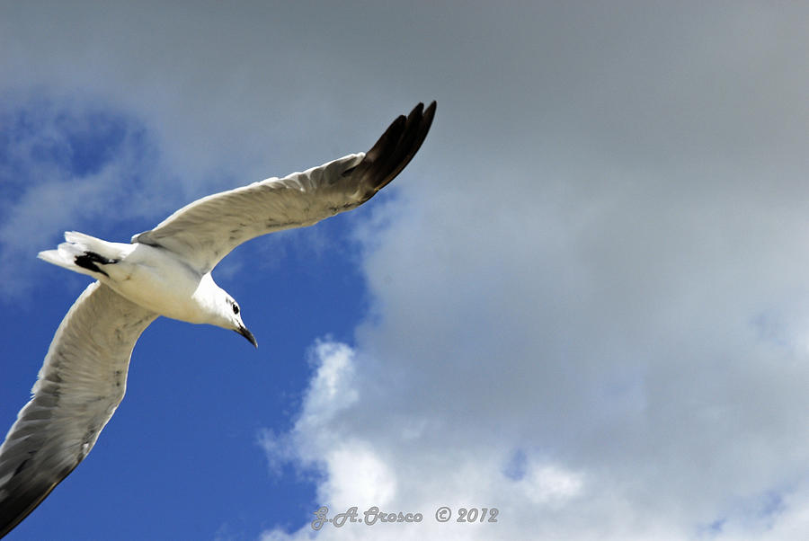 Birds Photograph - White Glide  by G Adam Orosco