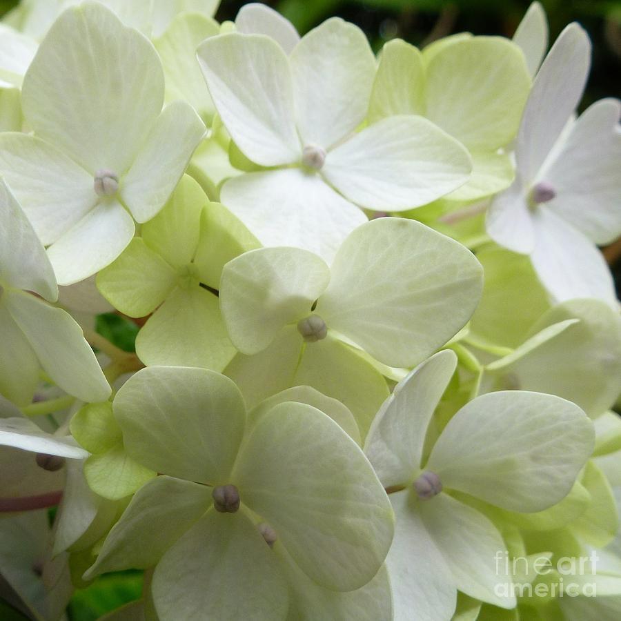 White Hydrangea Photograph By Barbara Moignard