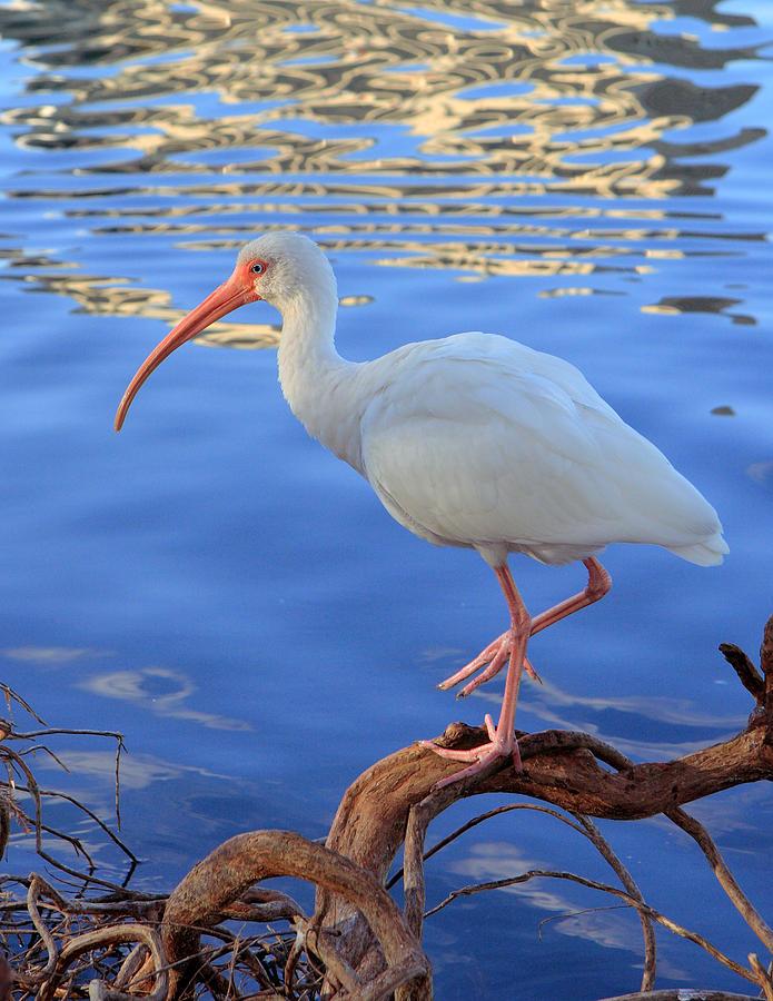 White Ibis Photograph - White Ibis by Rick Lesquier