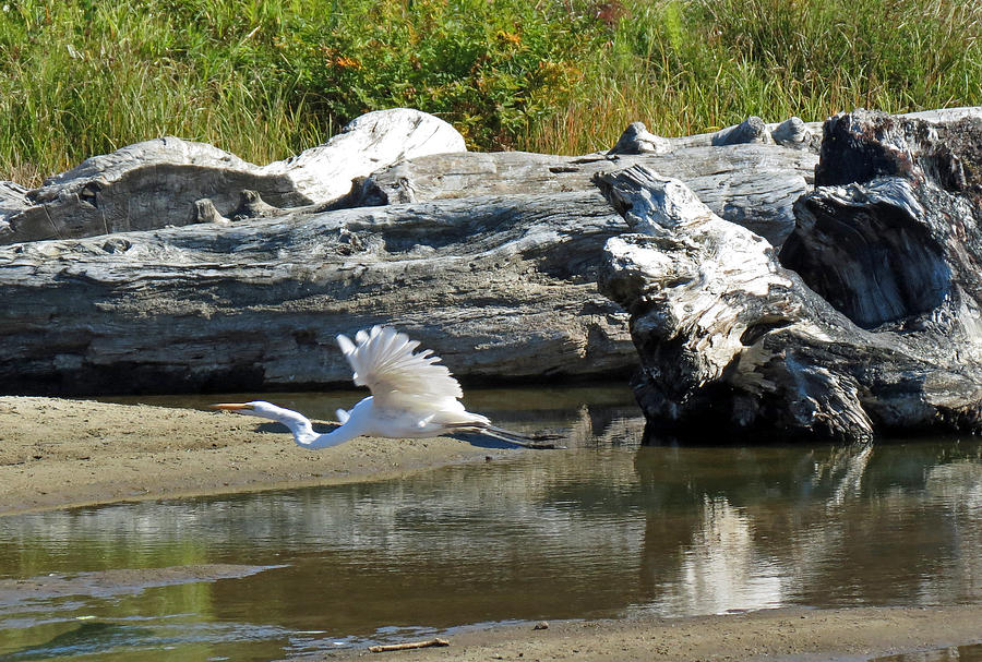 Great White Egret Photograph - White In Flight by Chris Anderson
