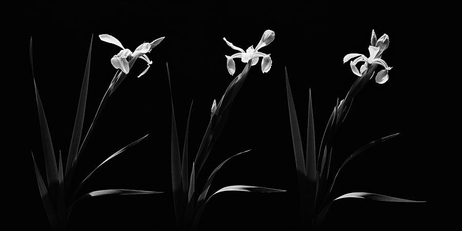 Flowers Photograph - White Iris Trio by Aldo Cervato