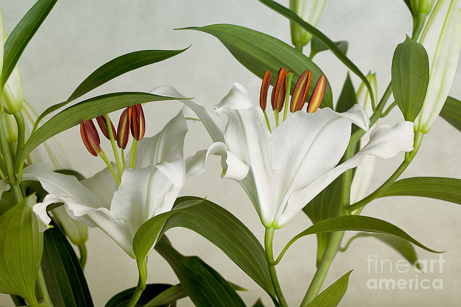 Lily Photograph - White Lilies by Nailia Schwarz