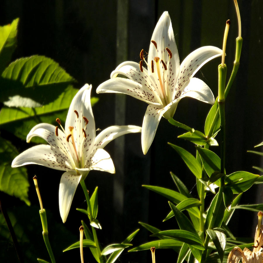 White Lillies by Diane Ellingham