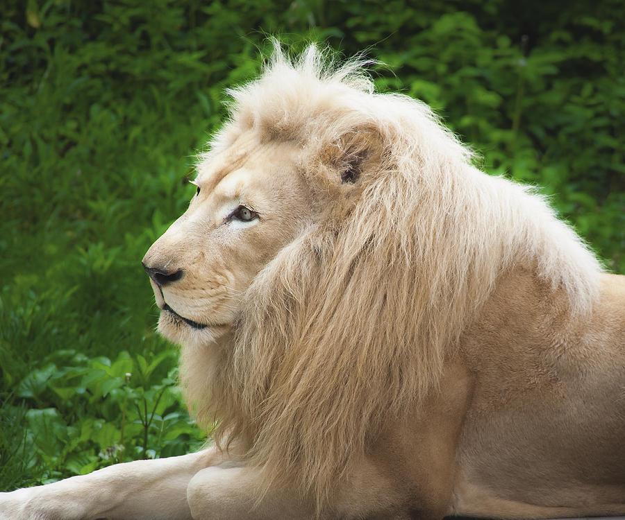 Lion Photograph - White Lion by Jen Morrison