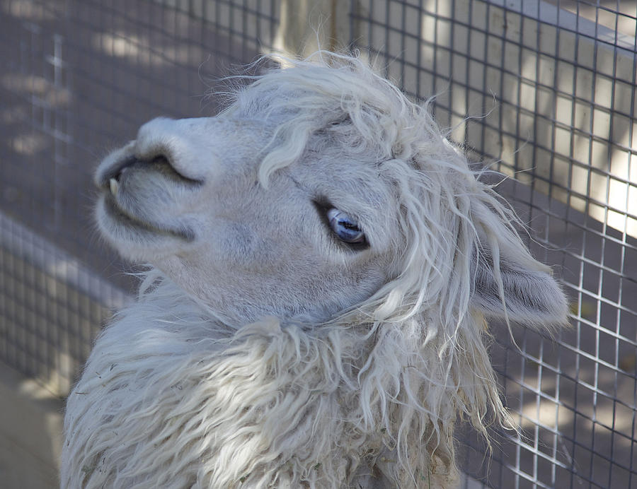 Animals Photograph - White Llama by Enzie Shahmiri