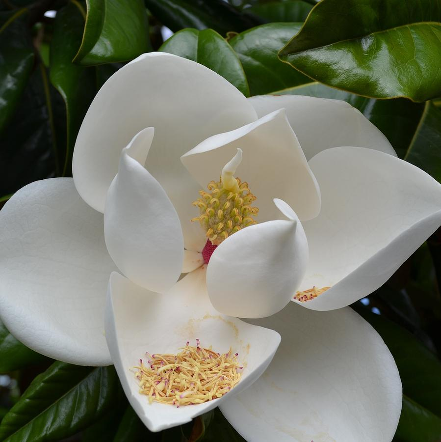 White magnolia flower photograph by p s nature photograph white magnolia flower by p s mightylinksfo