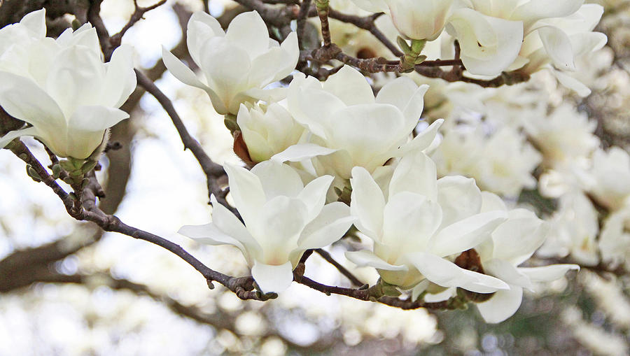 Flower Photograph - White Magnolias by Becky Lodes