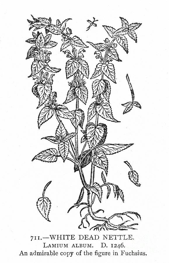 Biology Photograph - White Nettle by Granger