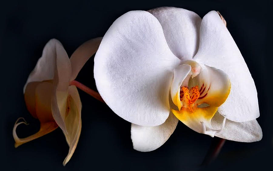 Flowers Photograph - White Orchid by Dorothy Walker