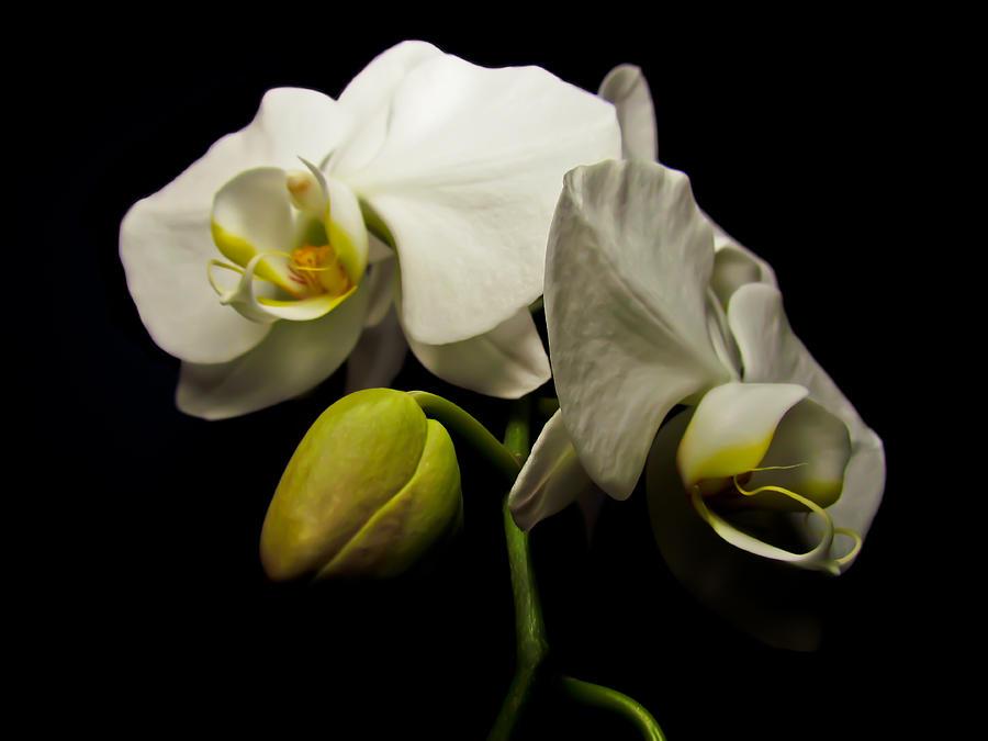 White Orchid I by Eva Kondzialkiewicz