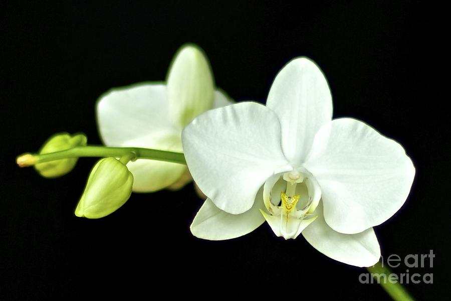 White Orchid Photograph - White Orchid by Mihaela Limberea