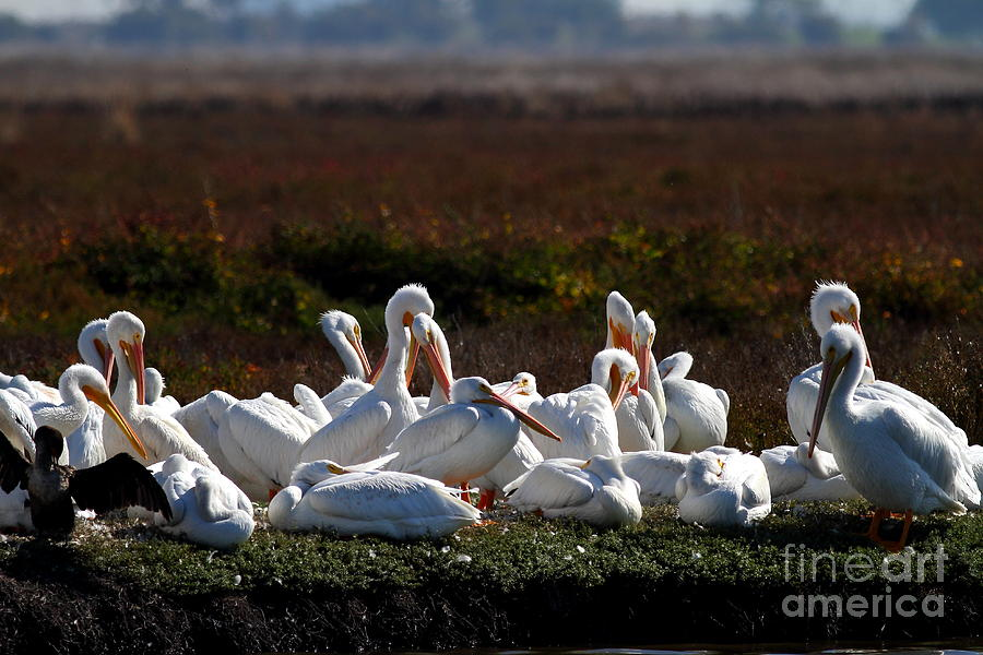 Bird Photograph - White Pelicans by Wingsdomain Art and Photography