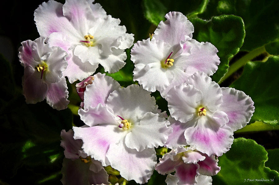 African Violet Photograph - White Pink Ruffled Violet by Paul Mashburn