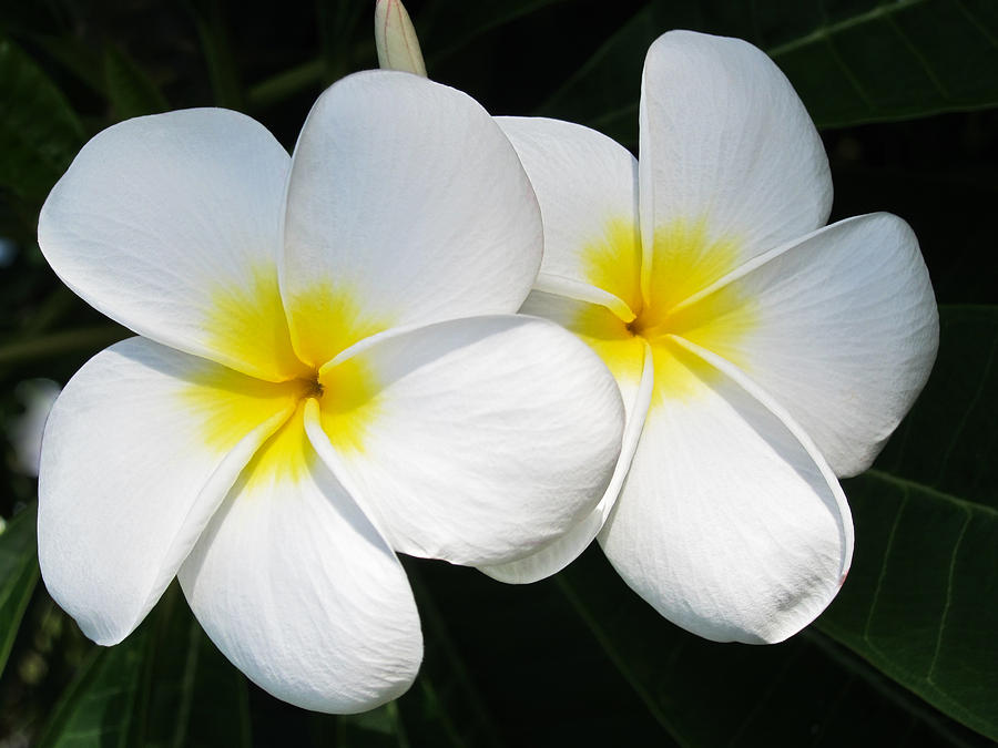 Plumeria Photograph - White Plumerias by Shane Kelly