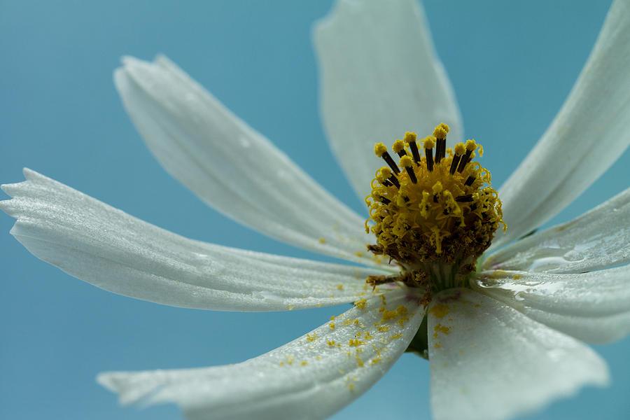 Bloom Photograph - White Rain by Daniel Kulinski