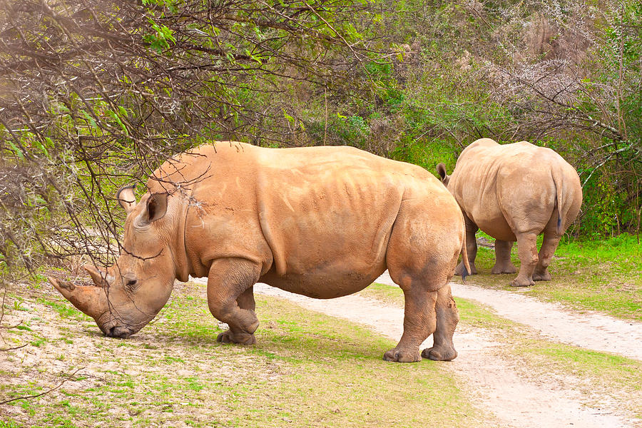 Africa Photograph - White Rhinoceros by Tom Gowanlock