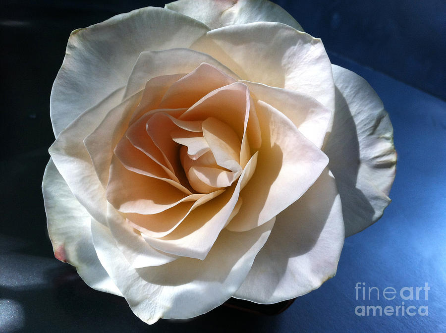 Rose Photograph - White Rose by Addie Hocynec
