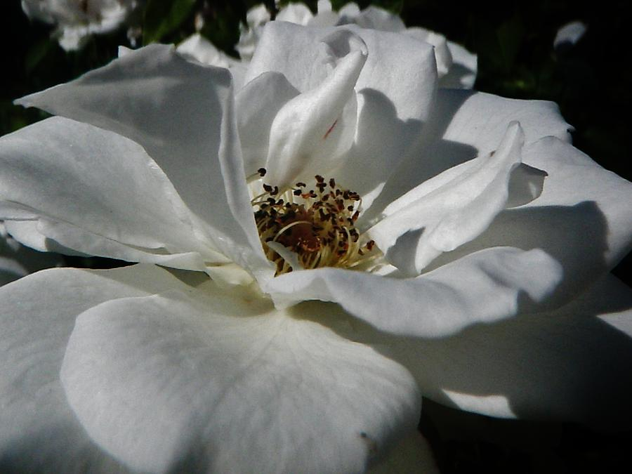 White Rose Photograph - White Rose  by Daniele Smith