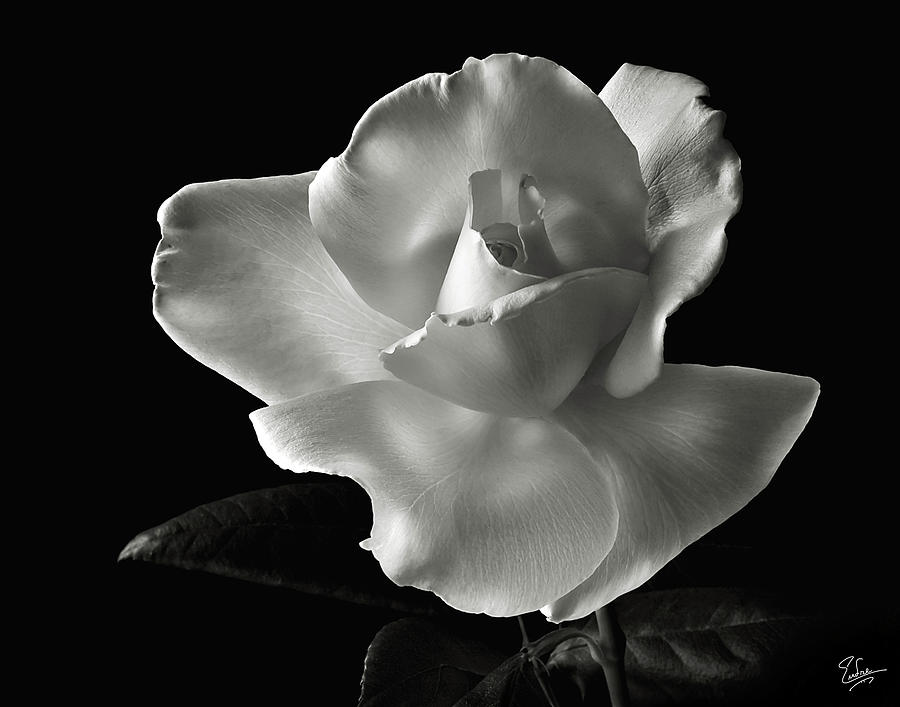 Flower Photograph - White Rose In Black And White by Endre Balogh