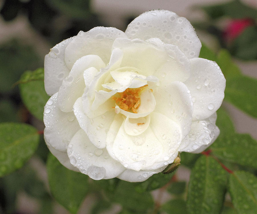 Plant Photograph - White Rose by Judith Szantyr