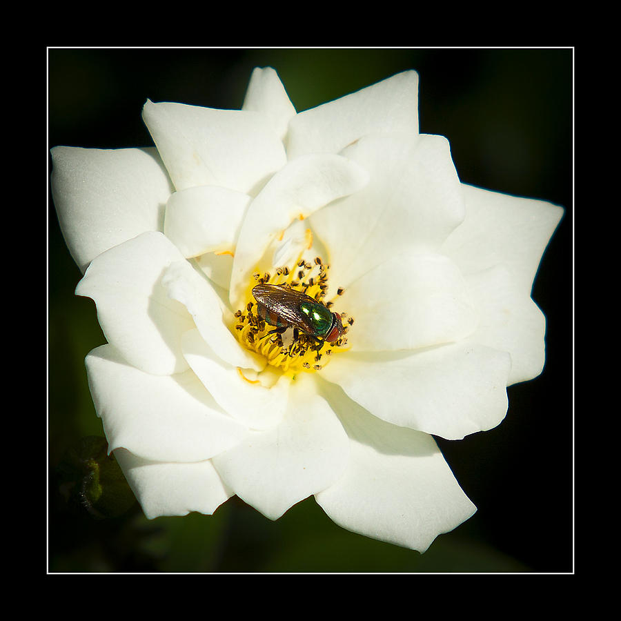 Fly Photograph - White Rose by Miguel Capelo